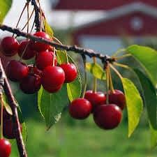 lime cherry