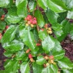 Mulberry Season brings Mulberry Syrup